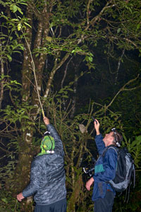Oskar Conle (left) and Frank Hennemann (right) collecting a phasmid with the help of a long branch, in Panama 2018.